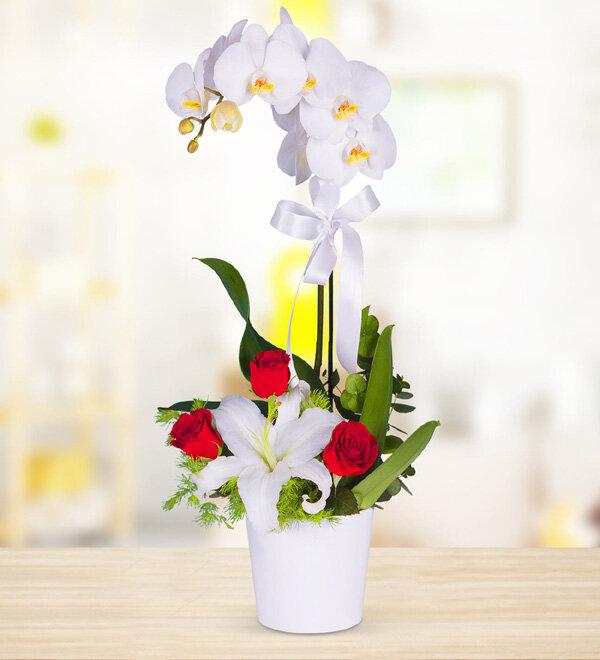 Orkide Sonsuz Aşk